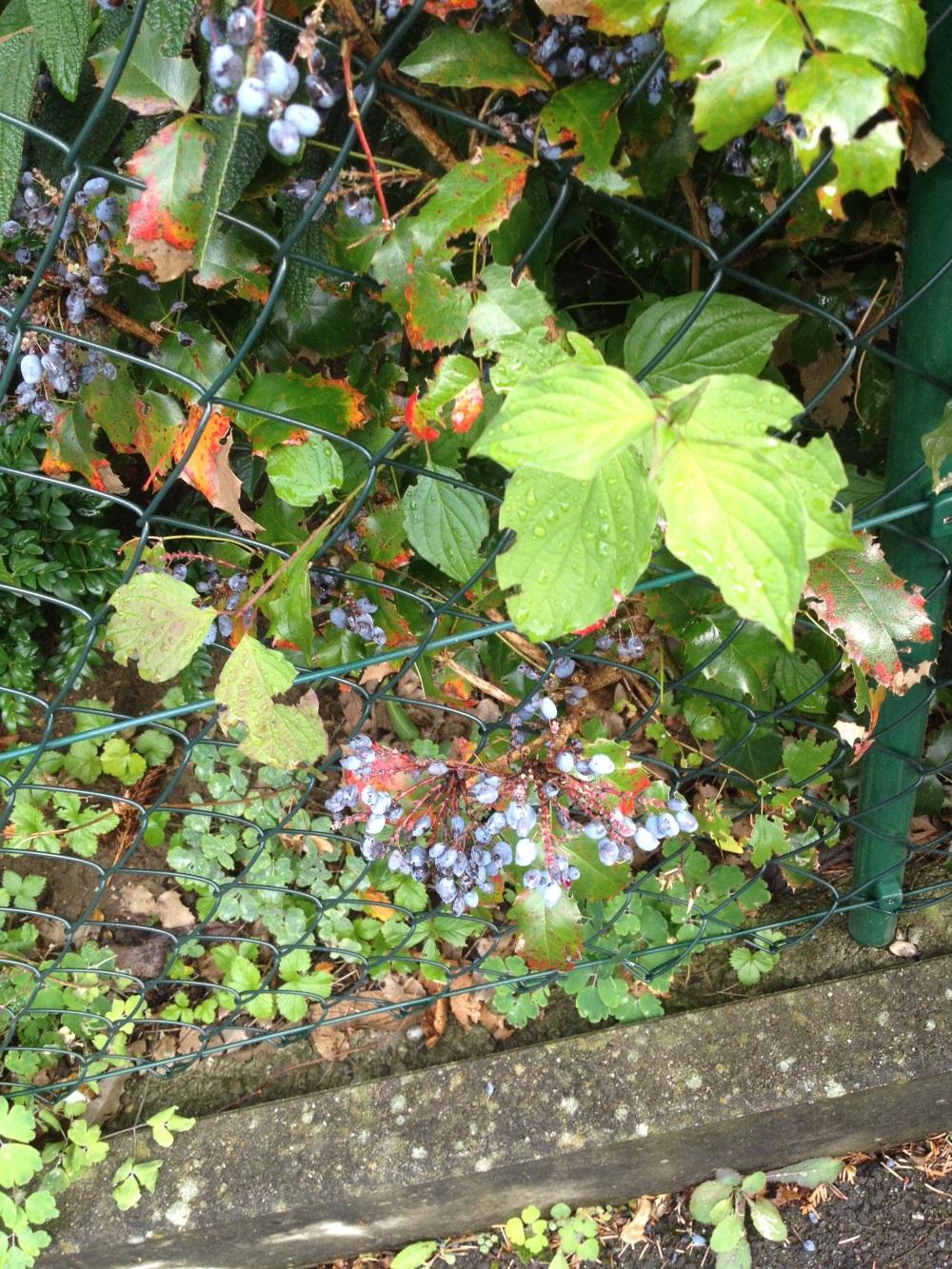 Sind diese Beeren giftig oder nicht?